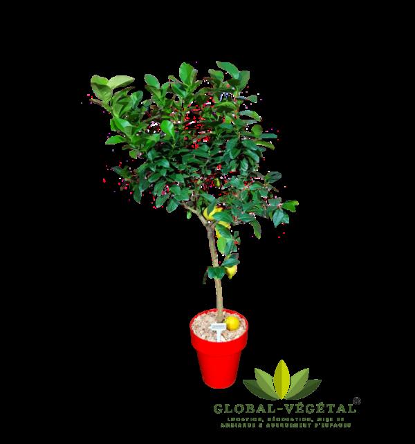 Location de citronnier naturel pour décoration