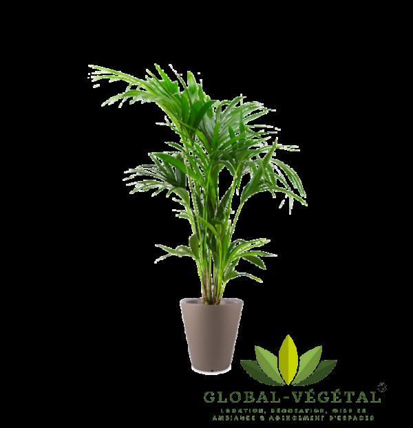 Location de kentia palmier pour décoration