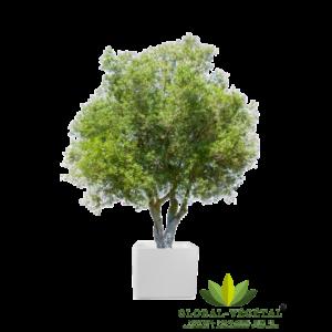 Location d'olivier naturel pour décoration