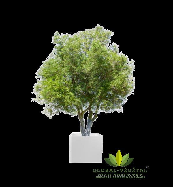 Location olivier naturel décoration