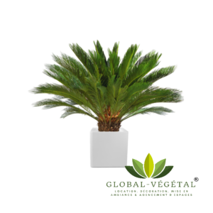 Location de palmier Cycas