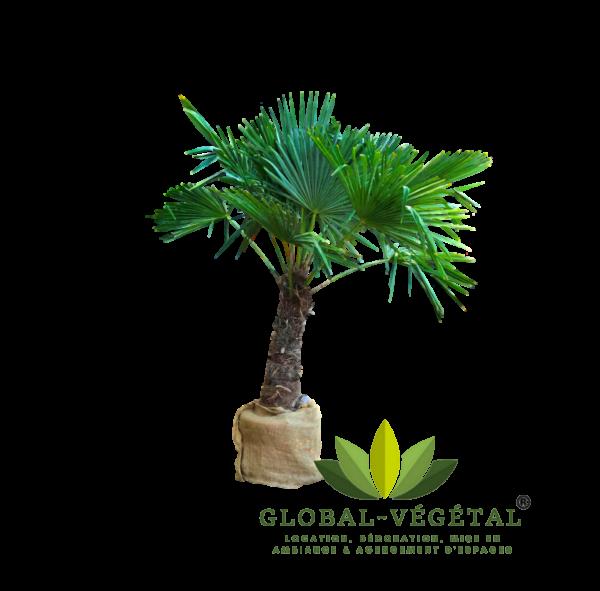 Location de palmier pour événement