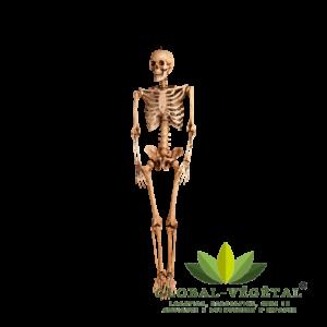 Location de faux squelette humain