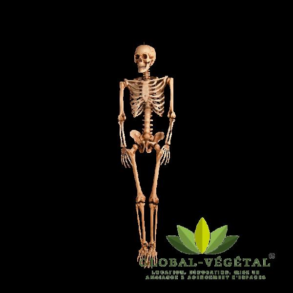 Location de squelette humain