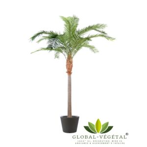 Location de palmier Roebelenii