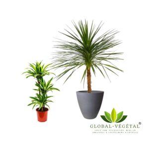 Location plantes vertes dracaena